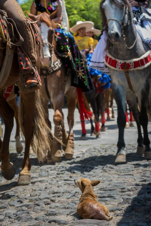 A chihuahua watches passing horses on el Día del Charro in Ajijic.