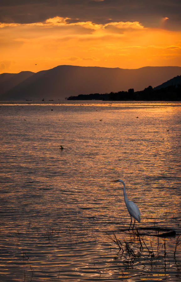Great egret fishing at Lake Chapala, Mexico.
