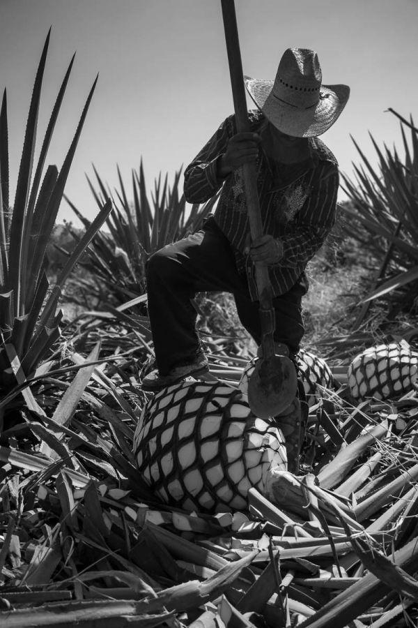 Jimador using a coa de jima to cut the leaves off of agave piñas in Arrandas, Jalisco, Mexico.