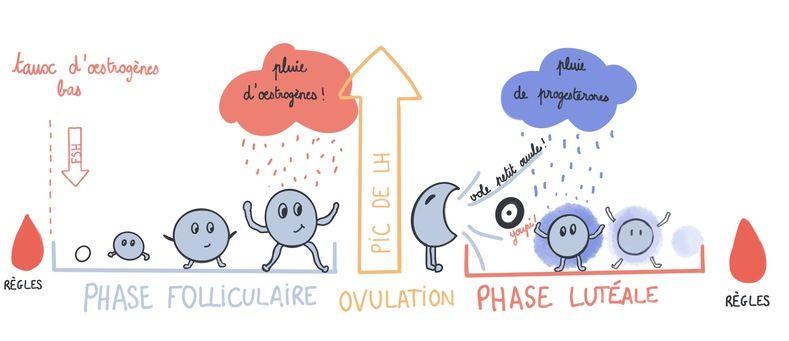 Schéma: les phases du cycle menstruel