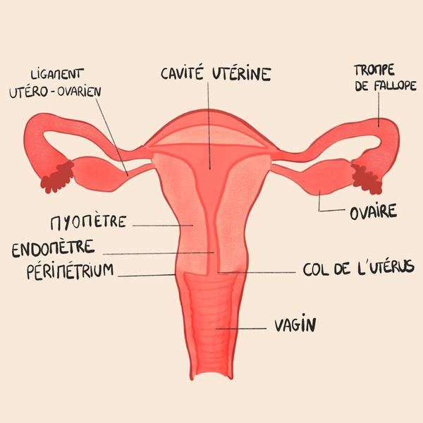 schéma d'un utérus