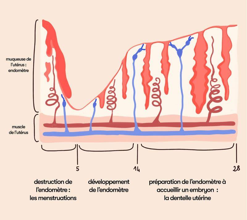 schéma de l'endomètre