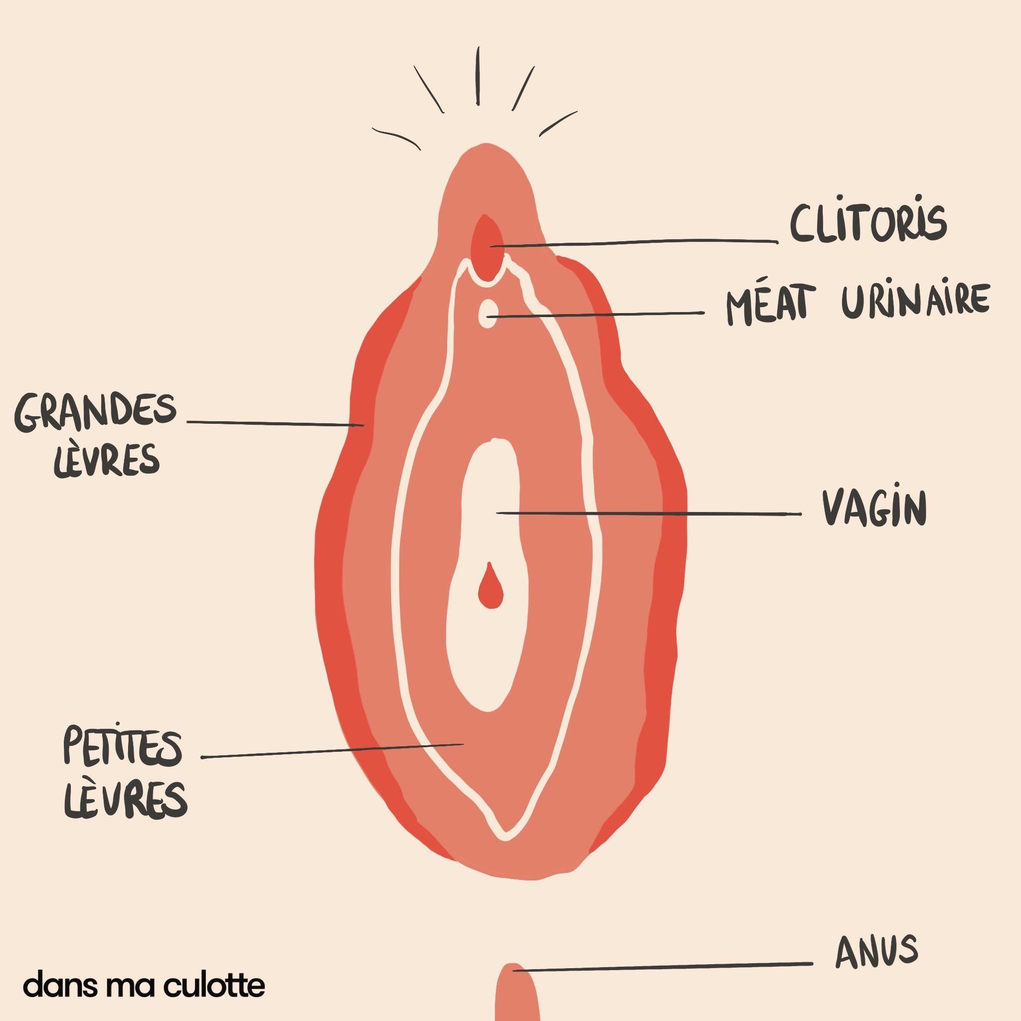 dessin d'une vulve montrant le clitoris, le meat urinaire, les grandes lèvres, les petites lèvres, le vagin et l'anus.