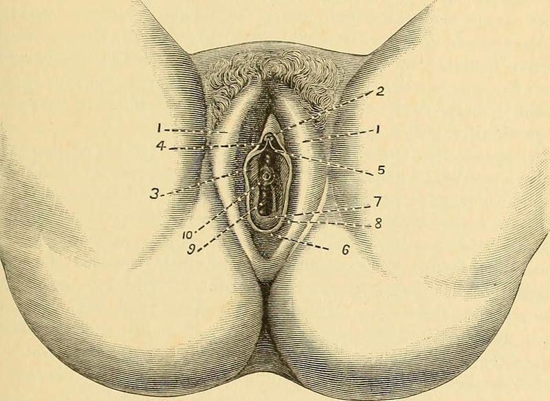 Anatomie féminine - appareil génital féminin