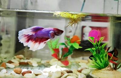 Ikan Cupang Pengganti uang THR