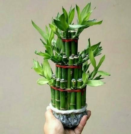 Bambu, Tanaman Hias Souvenir Pernikahan