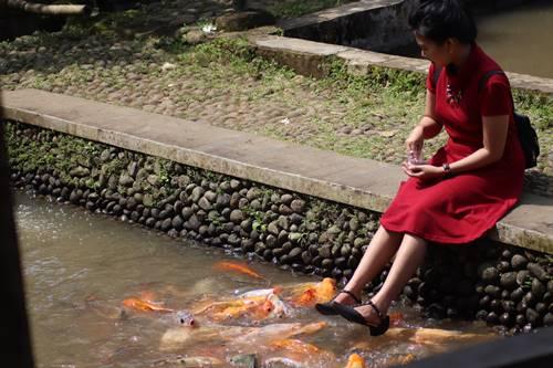 Wisatawan memberi makan ikan di kolam ikan Kampung Naga