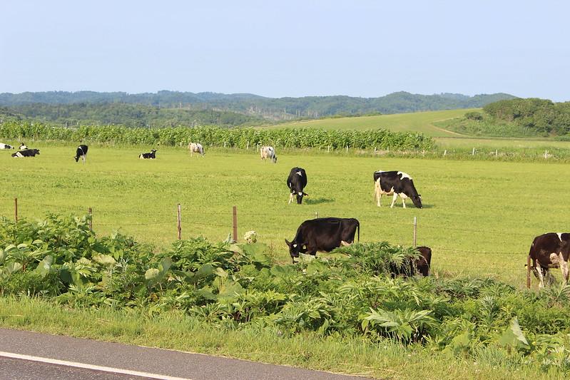 オロロンロードから見える牛