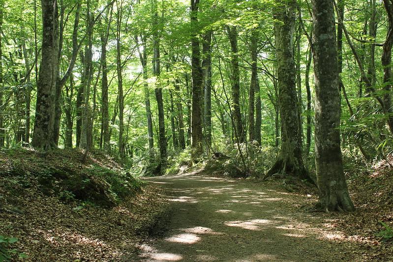 ブナ自然林 その1
