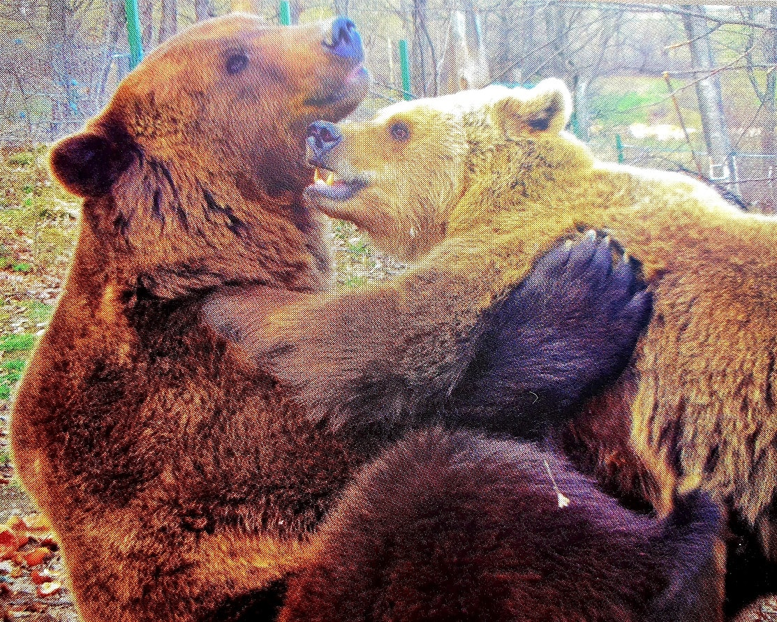 Cristi and Lydia - the first bears at Libearty bear sanctuary