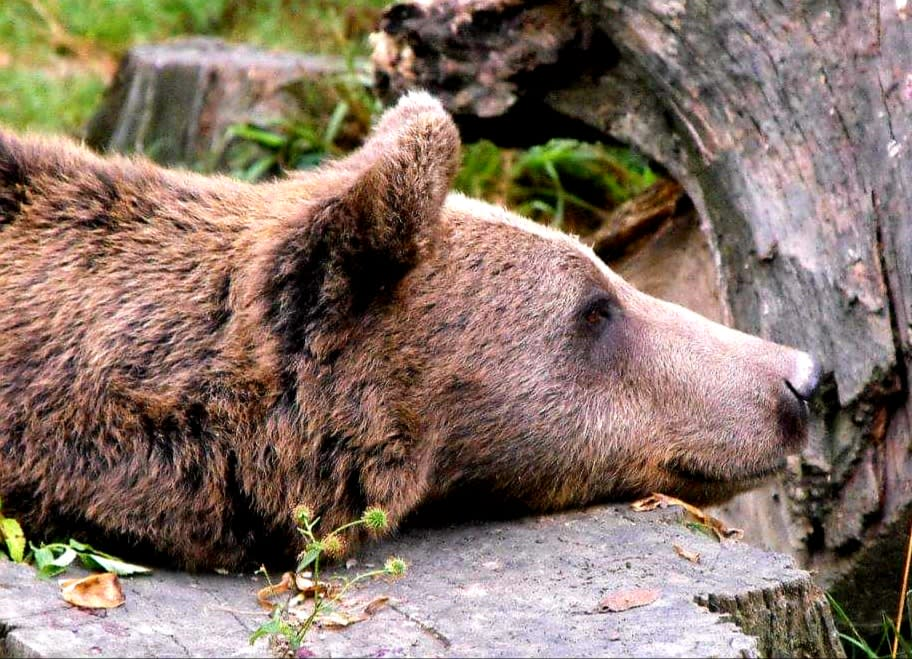 a bear laying its head down