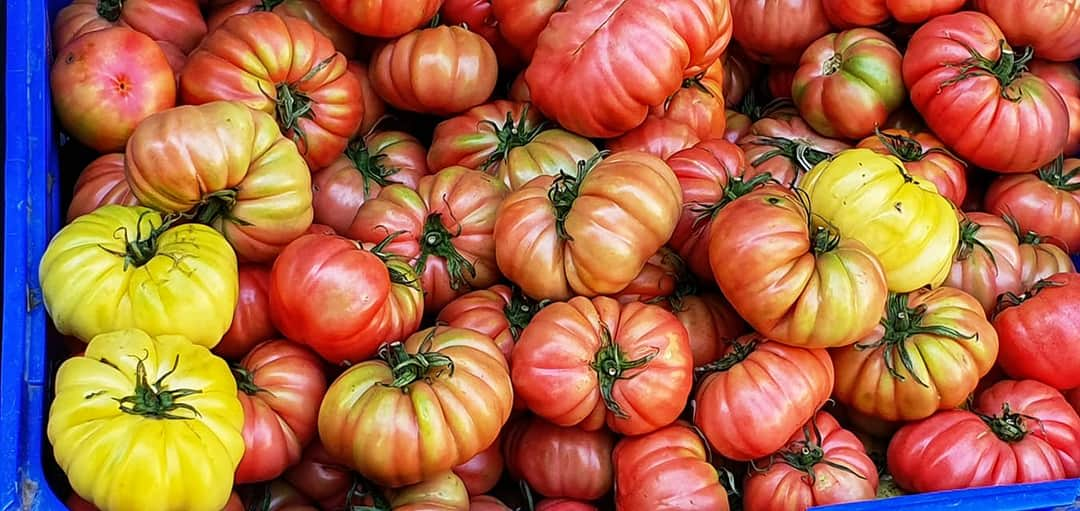 enormous tomatoes