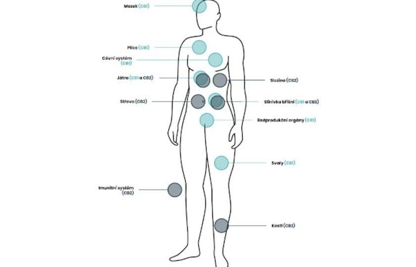 Co je to endokanabinoidní systém a jakou má roli v lidském těle?