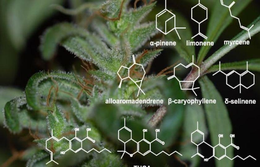 Terpenové syntázy z konopí Cannabis Sativa