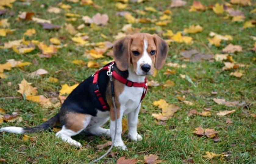 Farmakokinetika kanabidiolu (CBD) podávaného zdravým psům 3 různými způsoby ve 2 různých dávkách