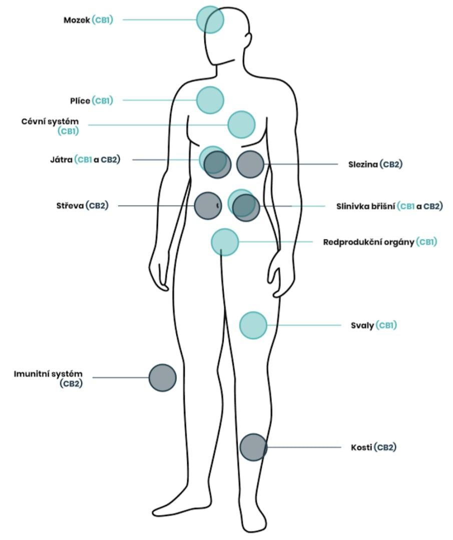 Endokanabinoidní systém a kanabinoidní receptory CB1 a CB2