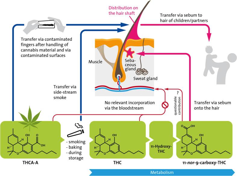 Potenciální integrační cesty kanabinoidů do lidských vlasů.