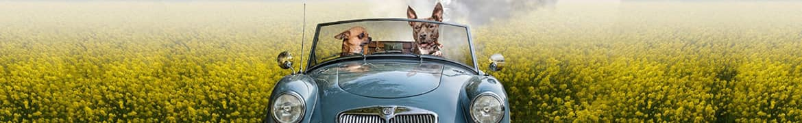 Two dogs driving a car with a plate saying Vamonos, Alliance United Insurance
