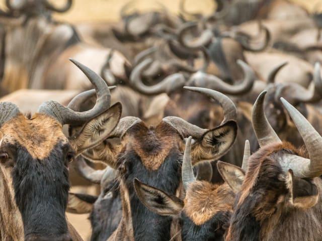 Like a Herd of Wildebeest