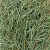 Feather eucalyptus closeup 350 a508a846 1