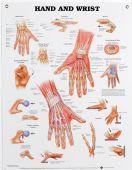 Hand & Wrist Chart