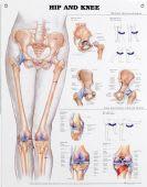 Hip & Knee Chart