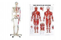 Anatomical Models and Charts