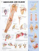 Shoulder & Elbow Chart
