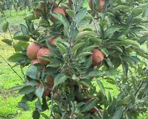 U carstvu jabuka