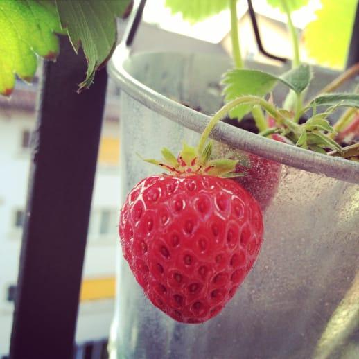 Einfach fein: Tipps zum Anpflanzen von Erdbeeren für den Balkon oder Garten