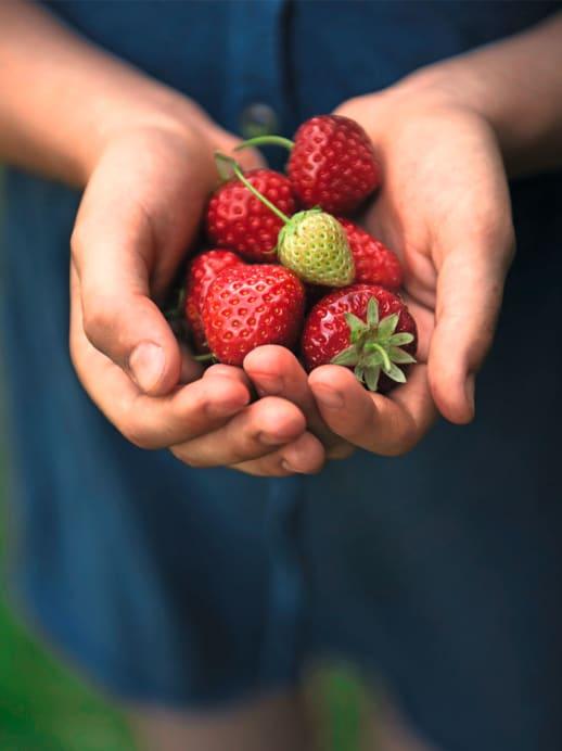 Erdbeersaison: Ernte und Zubereitung