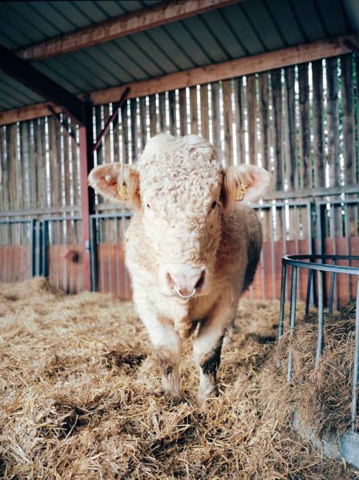Tierschutz: Benjy, der schwule Stier