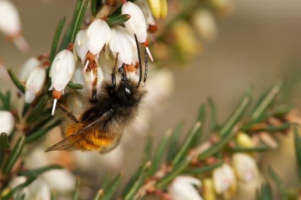 Summ, summ, summ – haben Bienen bald ausgesummt?