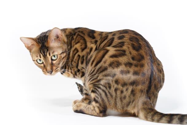 Anarchos im Pelzmantel: Warum wir Katzen trotz ihrer Macken lieben