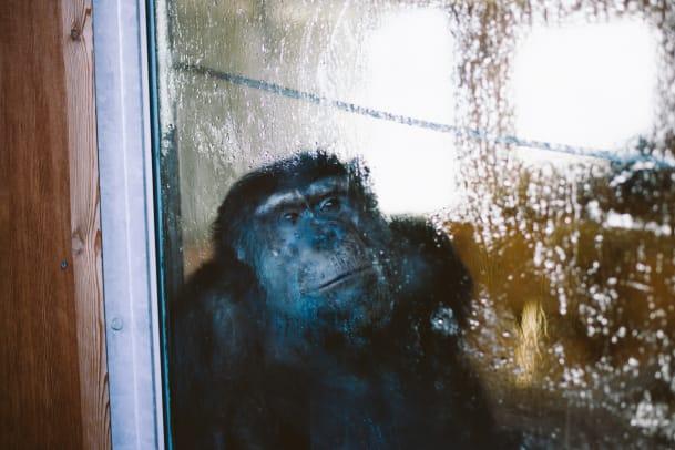 Tierversuche: Schimpansen aus der Aidsforschung