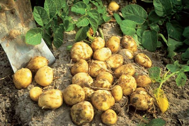 La Bonnotte – Die Kartoffelkönigin