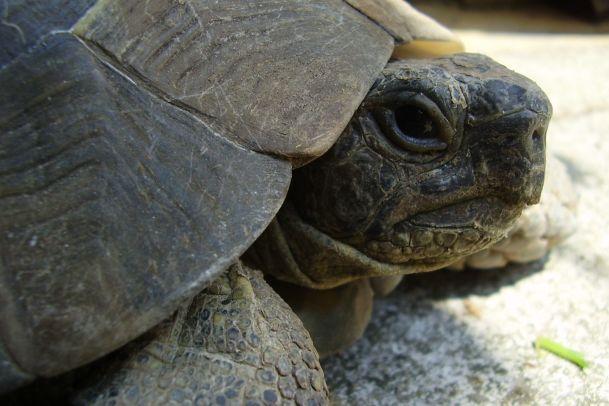 Wie ist es eigentlich eine Schildkröte zur Fortpflanzung zu motivieren?
