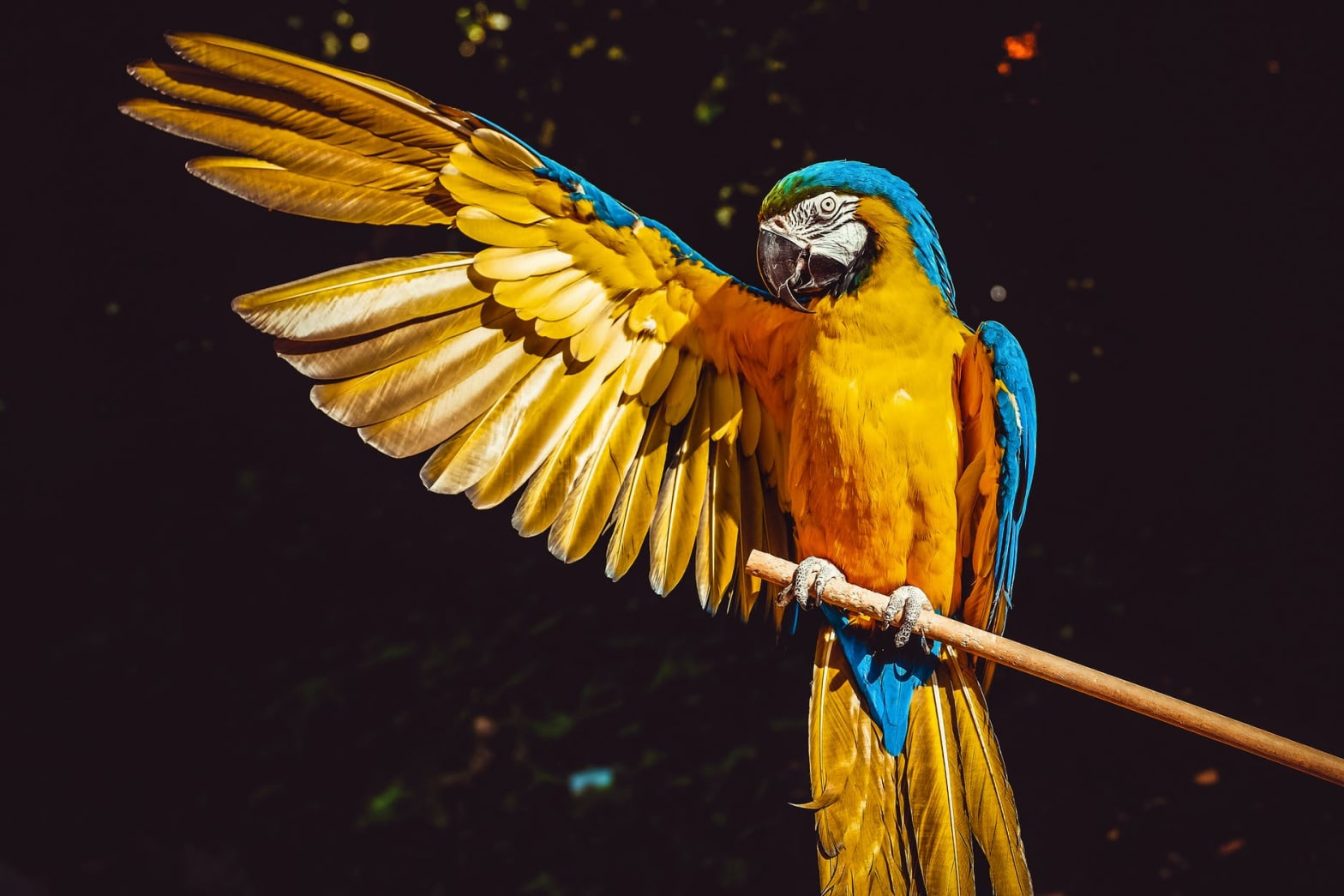 photo of yellow and blue macaw with one wing open perched on a wooden stick
