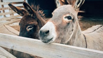 The Donkey Who Wasn't There