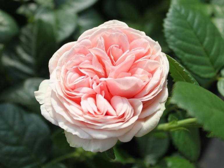 """Rosa """"Aphrodite"""""""
