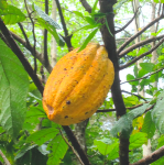 Cacao l2ckpx