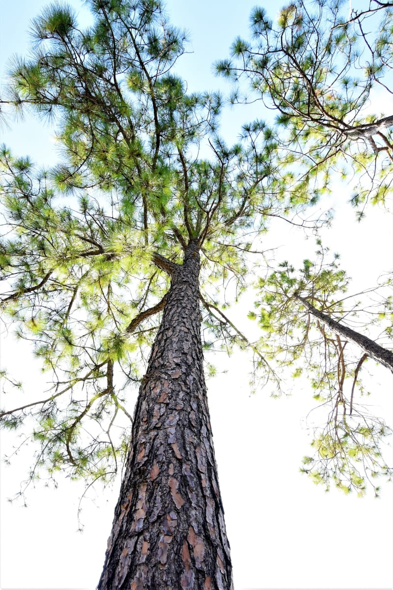 Pine tree. Photo by Veronica Lorine.