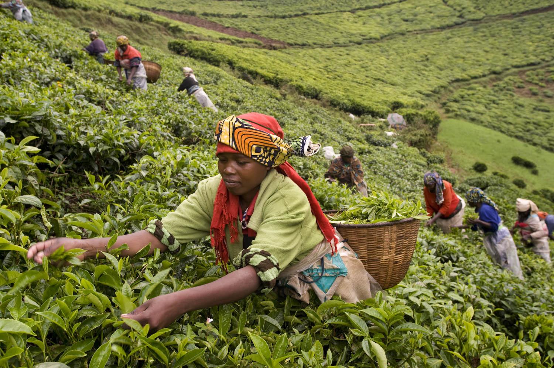 Dünya Çayları