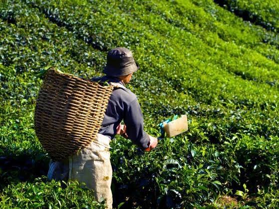 Çayın Kısa Tarihi