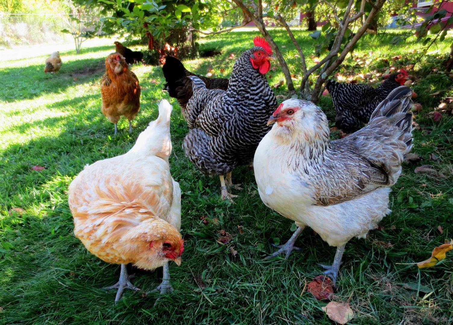 Tavuk Çeşitleri