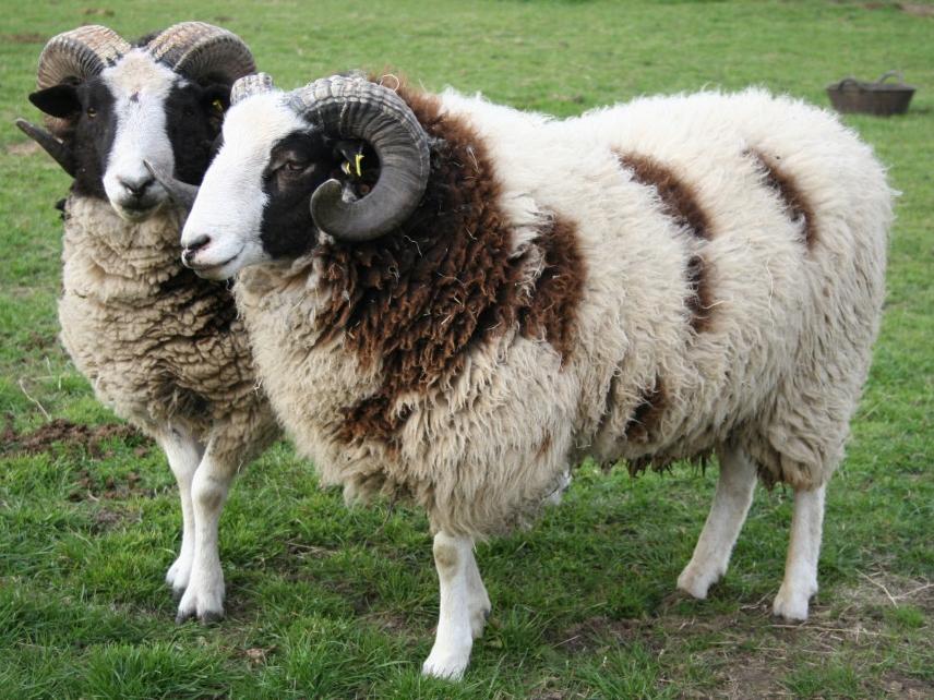 Yerli Koyun Cinsleri