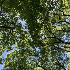 Looking up at trees on a sunny day