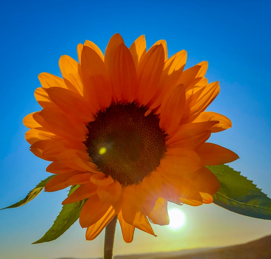 A Bright Orange Sunflower Under an Intensely Blue Sky