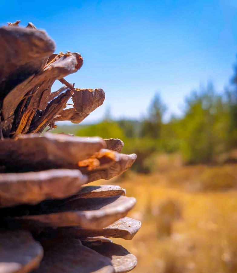 A Closeup of a Fallen Pine Cone