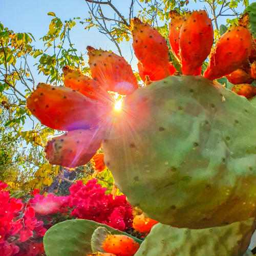 The Sun Shining Through a Bright Green Cactus with Blooming Prickly Pears